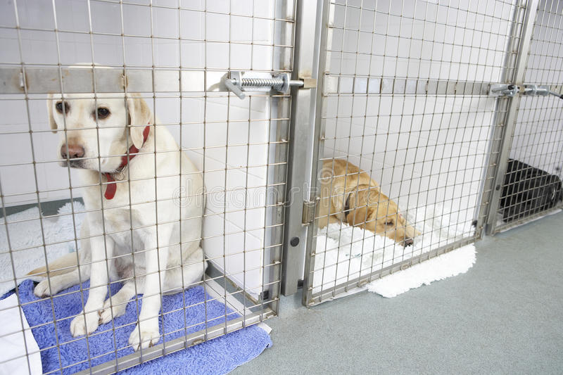 Dog Recovering In Vet's Kennels. Looking sad stock photos