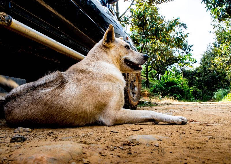 Dog recumbent on ground near the pickup truck. Dog recumbent on ground to beware and guard near the pickup truck in countryside stock images