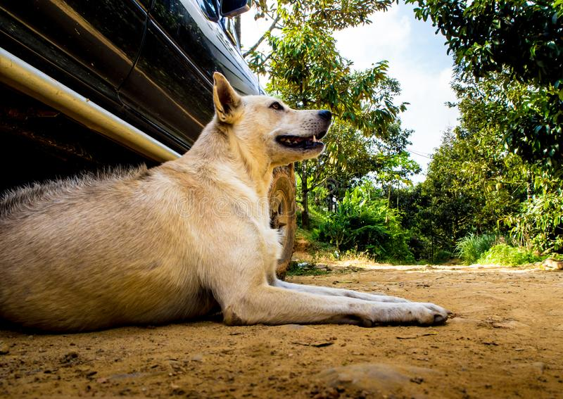 Dog recumbent on ground near the pickup truck. Dog recumbent on ground to beware and guard near the pickup truck in countryside royalty free stock photos
