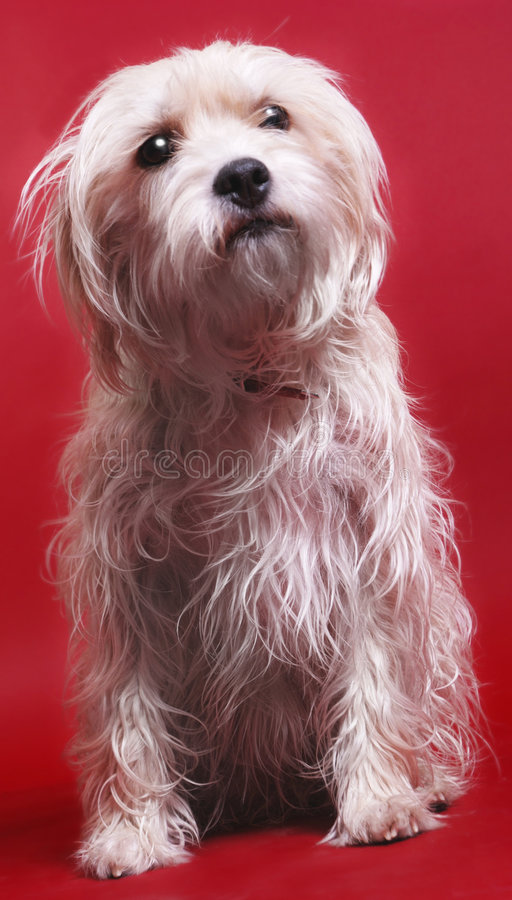 Download Dog on red stock photo. Image of pets, breed, ears, dogs - 3278962