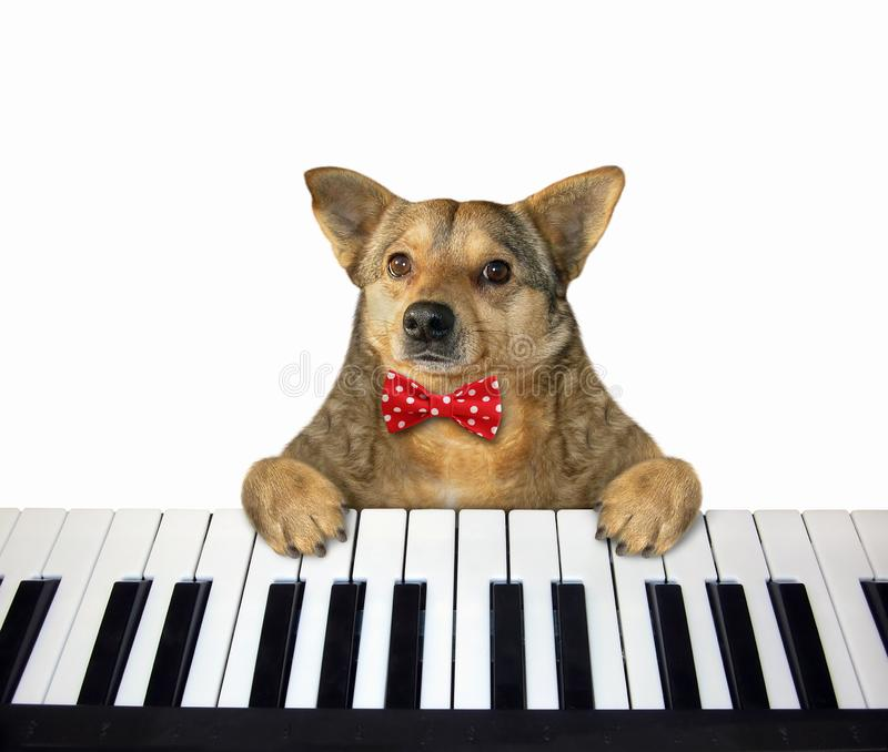 Dog in a red bow tie plays the piano stock images
