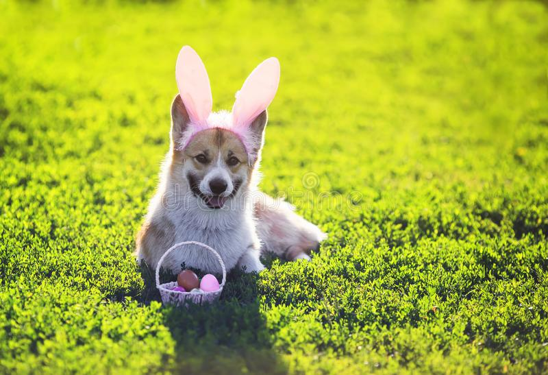 Dog red Corgi lying in the bright green grass in funny pink rabbit ears with a basket of bright colored eggs on Easter cards. Puppy dog red Corgi lying in the stock photos