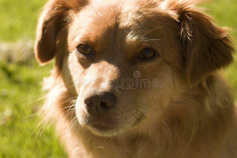 Dog with red fur. Closeup stock photos
