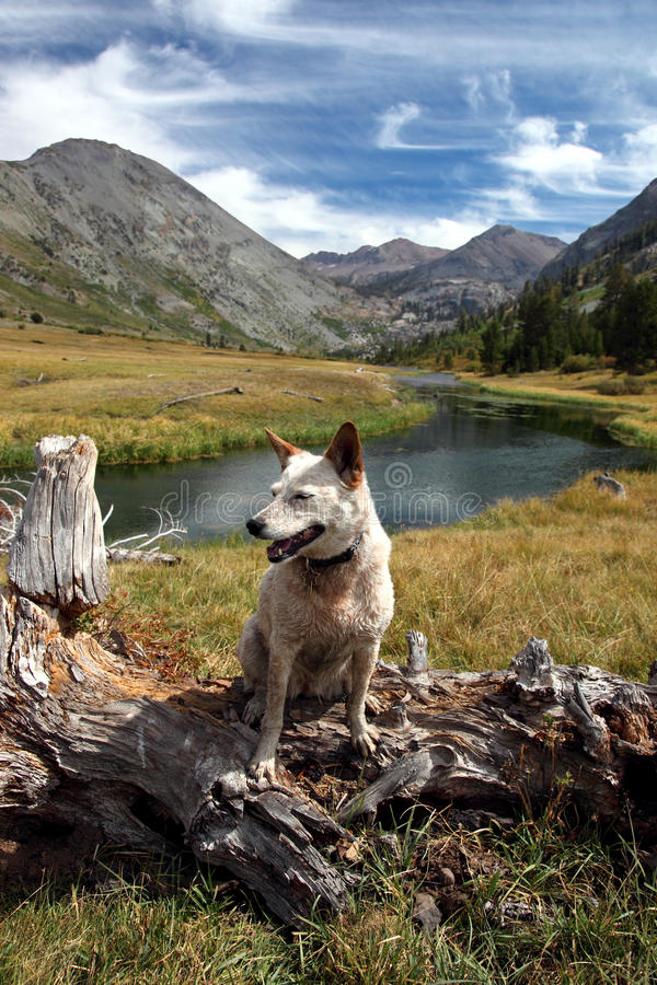 Dog: Red Heeler in the High Mountains. Red heeler Australian Cattle Dog posing on fallen tree in mountain pasture, river, meadow, peaks, Summer sky behind stock photo