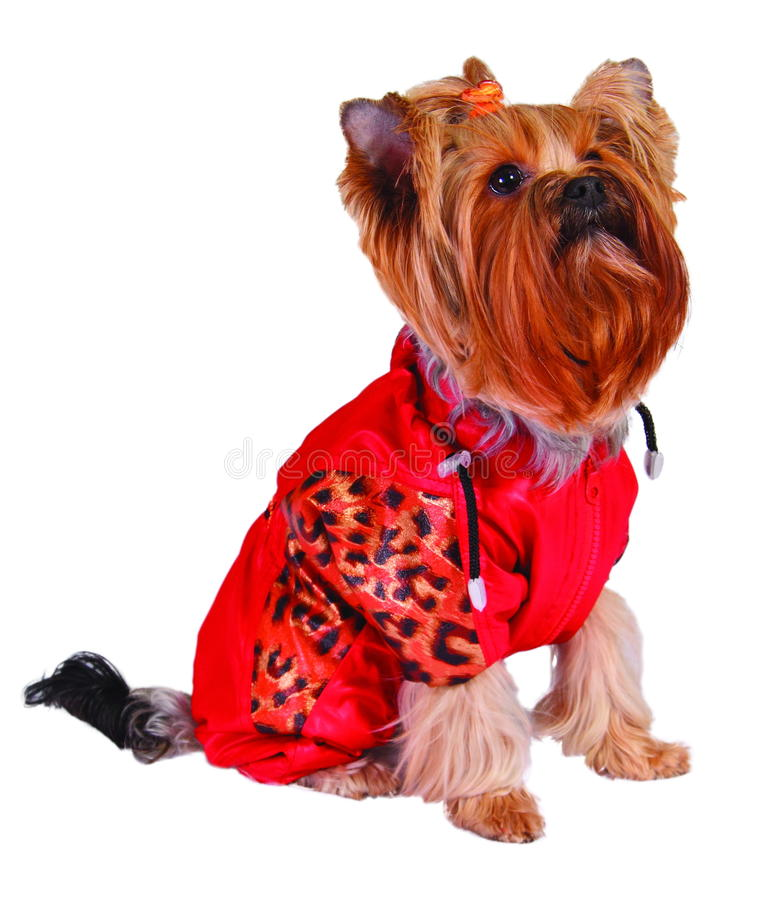 Dog in red jacket. Isolated on white royalty free stock photos