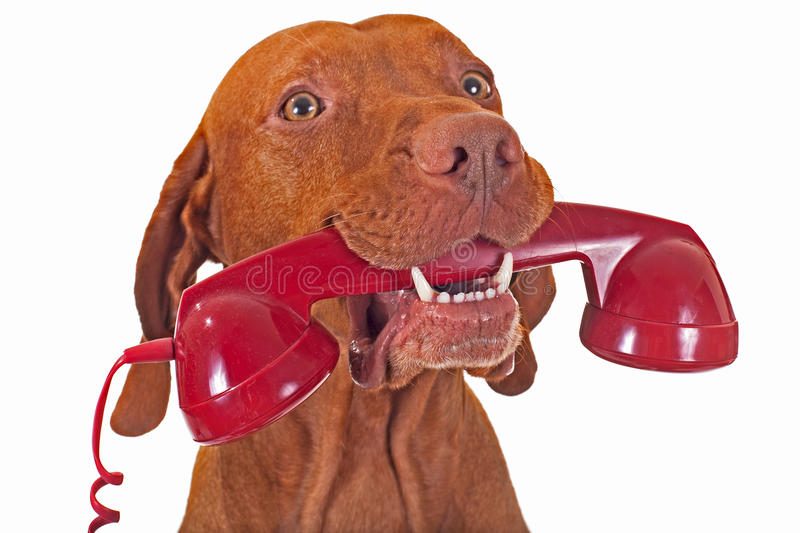 Dog with red phone royalty free stock photography
