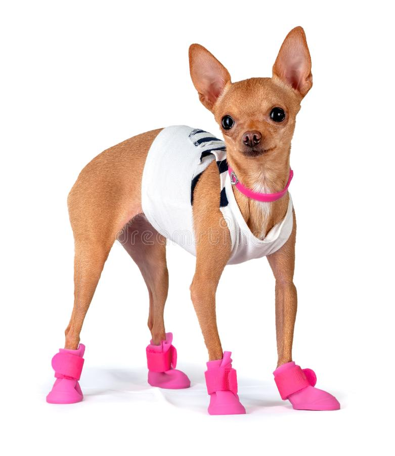 Dog in rubber boots royalty free stock images