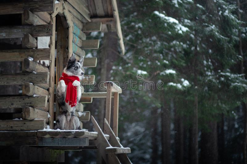 Dog in a red scarf at the wooden house. Border Collie in winter. Pet at walk. Dog in a red scarf at the wooden house. Border Collie in winter. Pet on a walk stock photo