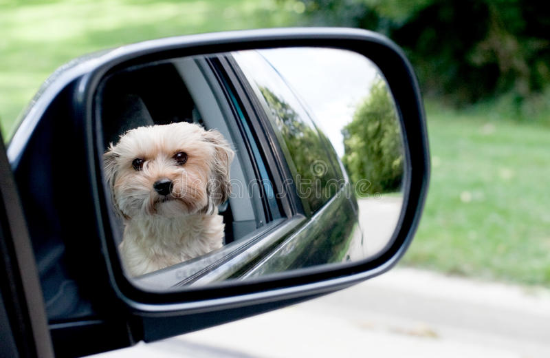 Dog Reflection. A cute Yorkie Shih Tzu dog see's her reflection in the mirror while out for a drive