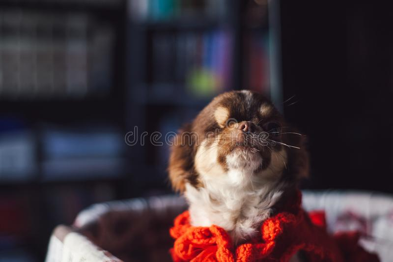A dog relaxes in his bed royalty free stock photography