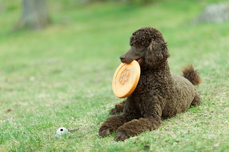 Dog relaxing on lawn. Laying Poodle in the summer field with bright green background. Brown standard poodle relaxing on the grass with smart look in its eyes royalty free stock photos