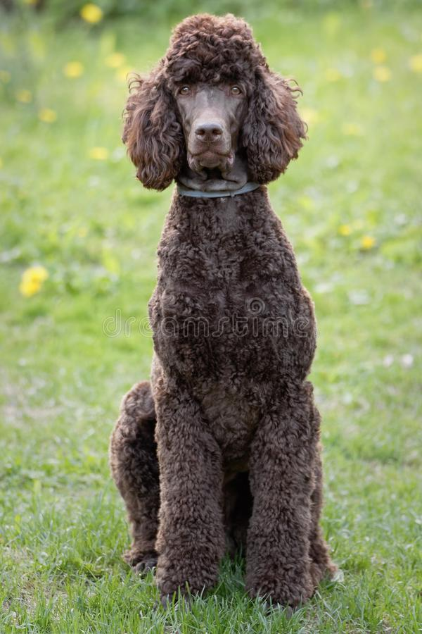 Dog relaxing on lawn. Laying Poodle in the summer field with bright green background. Brown standard poodle relaxing on the grass with smart look in its eyes stock photo