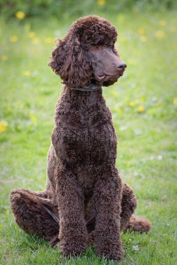 Dog relaxing on lawn. Laying Poodle in the summer field with bright green background. Brown standard poodle relaxing on the grass with smart look in its eyes royalty free stock photo