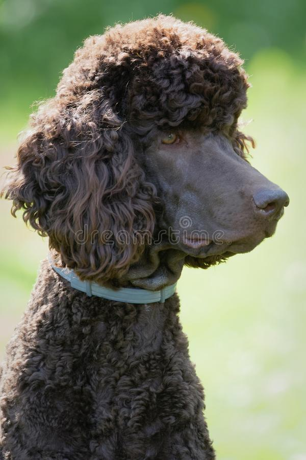 Dog relaxing on lawn. Poodle portrait in the summer with bright green background. Brown standard poodle sitting on the grass with smart look in its eyes royalty free stock photography