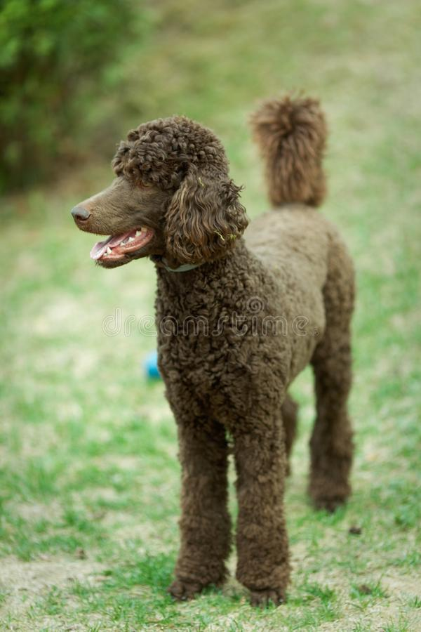 Dog relaxing on lawn. Poodle portrait in the summer with bright green background. Brown standard poodle sitting on the grass with smart look in its eyes royalty free stock image