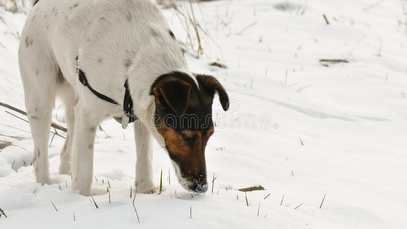 Dog relaxing in snow royalty free stock photos