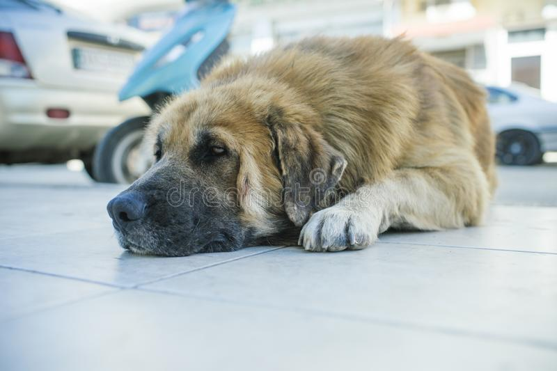 Dog rest on sidewalk. Stray dog on street. Pet and domestic animal. Tired watchdog outdoor. Companion and friend. Pet stock photos