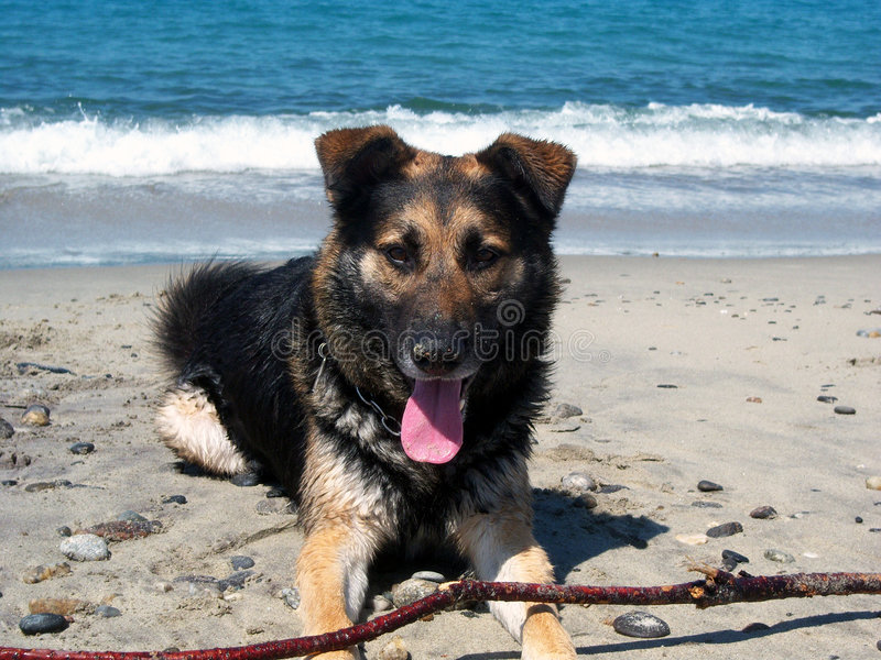 Download Dog rested stock image. Image of coasts, cute, enjoy, foam - 5192391