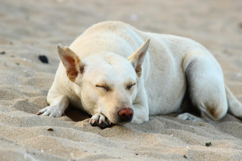 Dog Resting in beach stock image