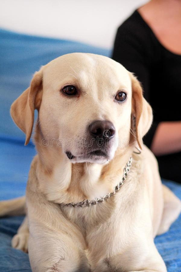 Dog is resting at home. Photo of yellow labrador retriever dog posing and resting on bed for photo shoot. Portrait of labrador. stock photography
