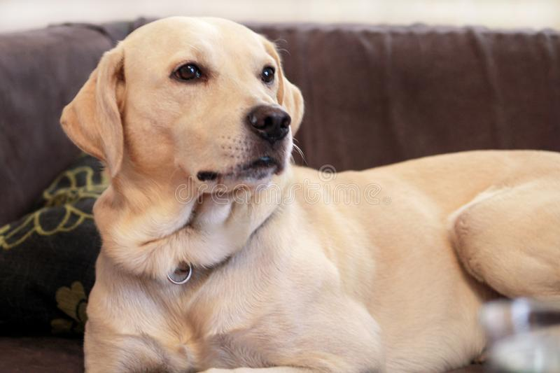 Dog is resting at home. Yellow labrador retriever dog laying in the bed. A beautiful dog enjoys on bed, in the living room. stock image