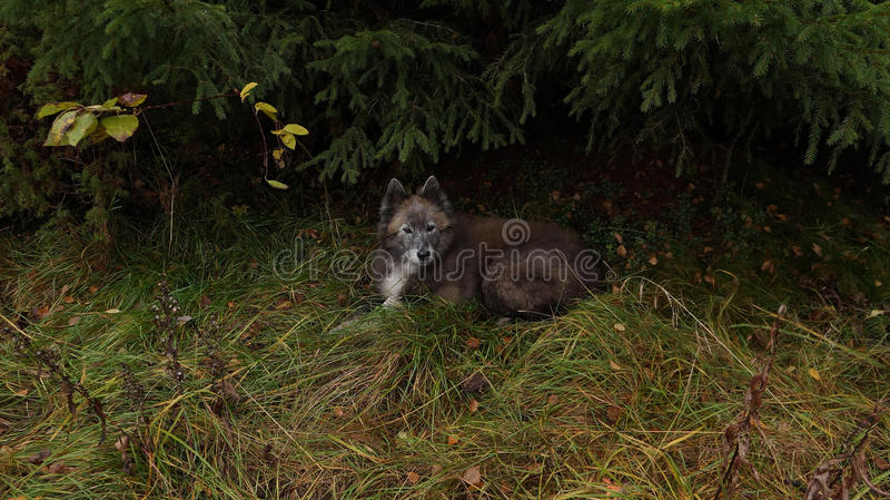 Dog resting under spruce in a clearing in the autumn forest royalty free stock photo