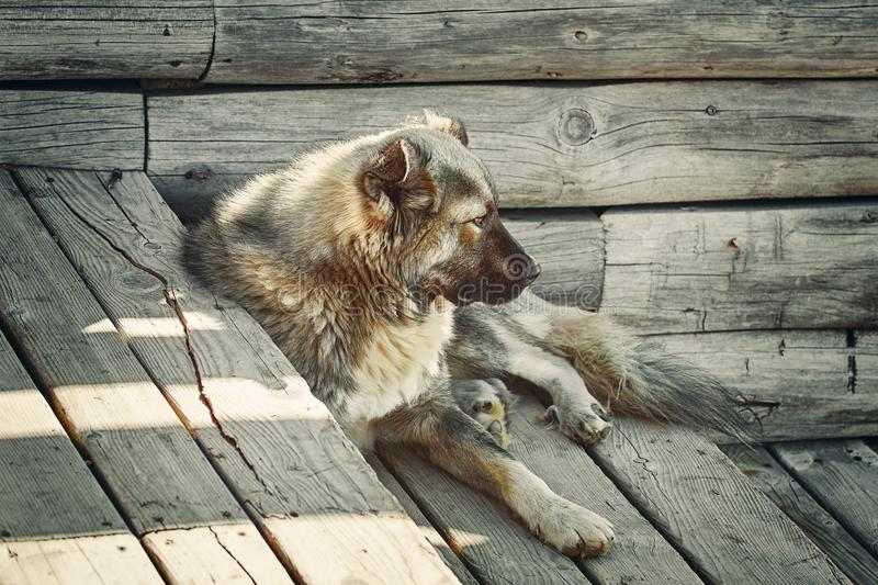 Dog on the steps. The Dog Resting on a Wooden Steps stock photography
