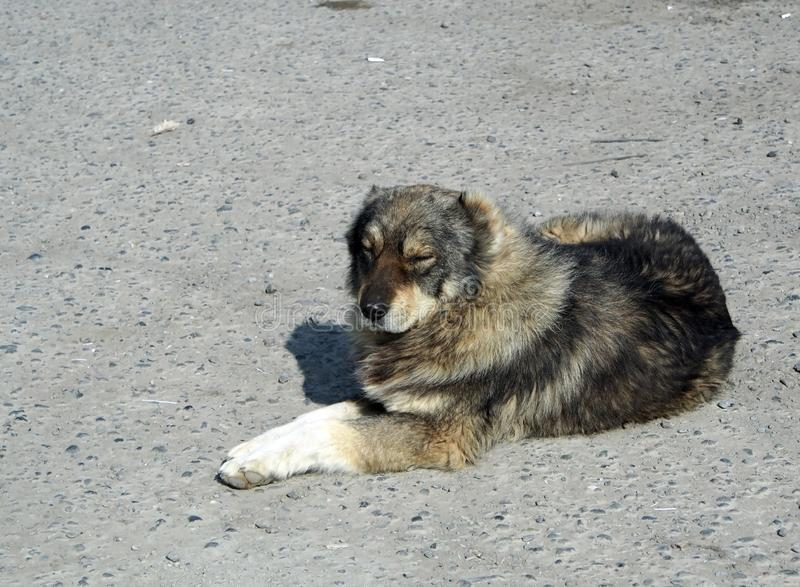 Dog resting on the street. Dog rests on the street on spring sun warmed the stone pavement stock photos