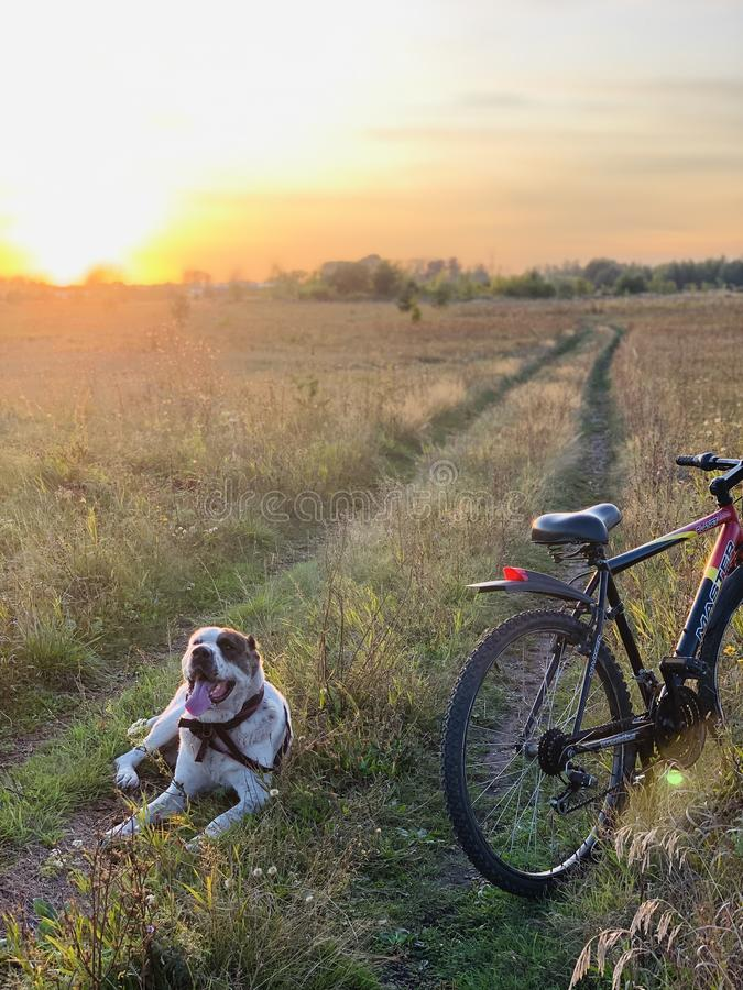 The dog rests after a walk with the owner on the bike. Pet and bike in the field on the road under the sunlight. Beautiful scenery stock photos