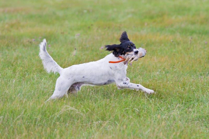 Dog retrieving a bird royalty free stock photography