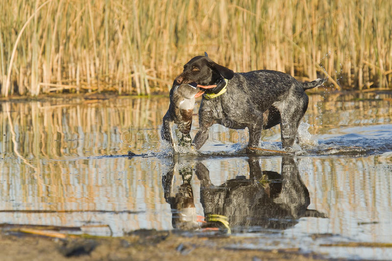 Dog Retrieving a duck royalty free stock photography