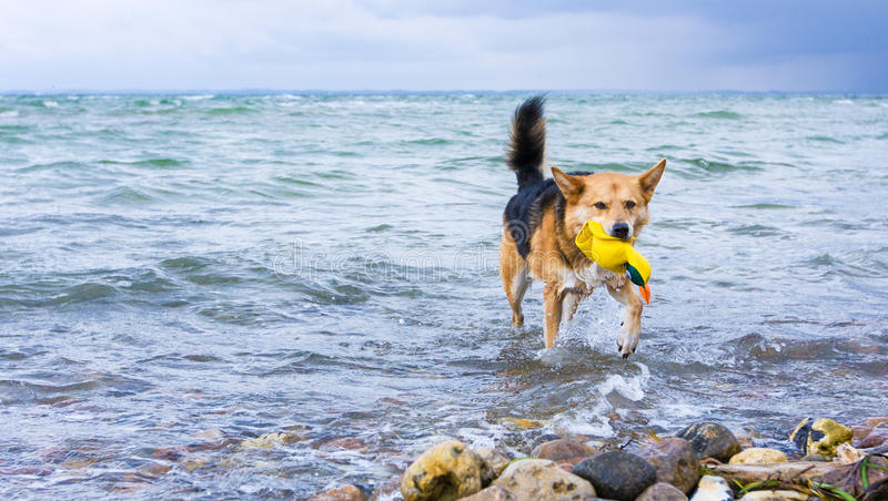 Dog Retrieving A Toy From The Water Stock Image