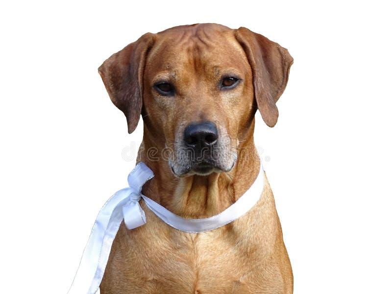 Dog Rhodesian ridgeback and white ribbon royalty free stock image