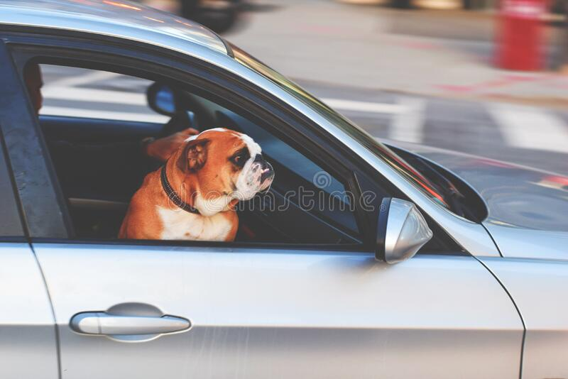 Dog Riding In Car Free Public Domain Cc0 Image