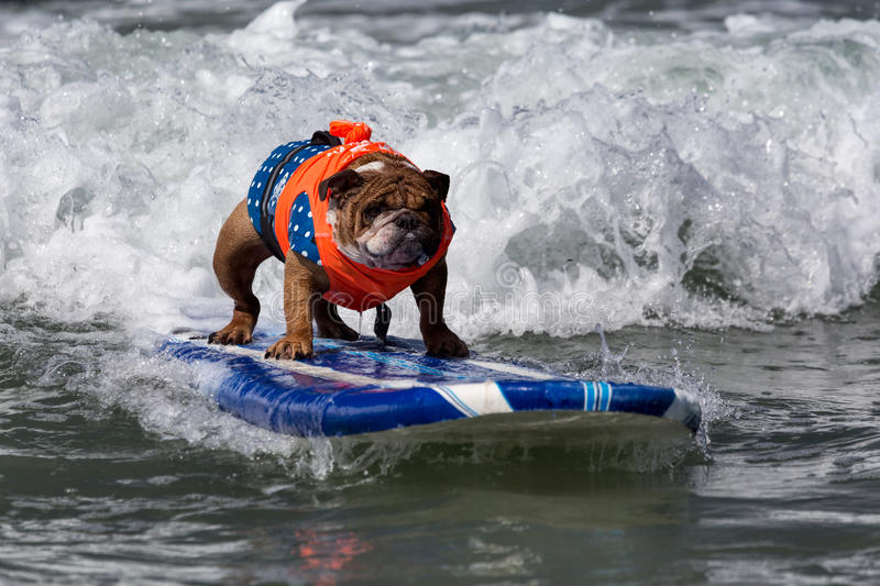 Dog riding waves on surfboard