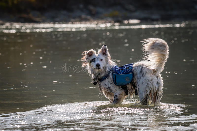 Dog in River. Jax, an Australian Shepherd mix, about to go for a cool swim after playing on the trail. Photographed along the Old Man River in Lethbridge stock images