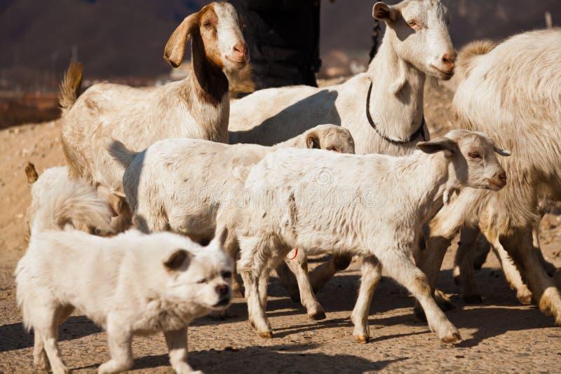 Dog roams in between a herd of goat. Guarding dog roams in between a herd of goat royalty free stock photo