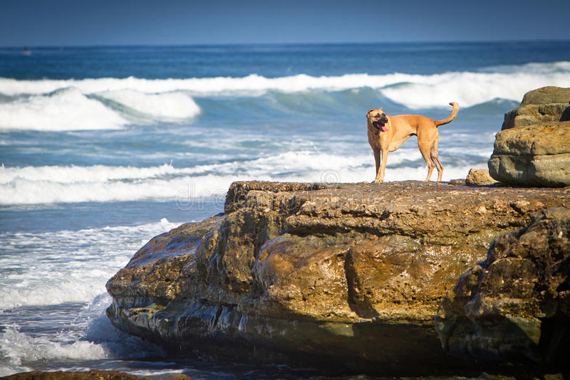 Dog on a rock on the beach. A large mixed breed dog standing on a large rock on the shore of a beach royalty free stock photography