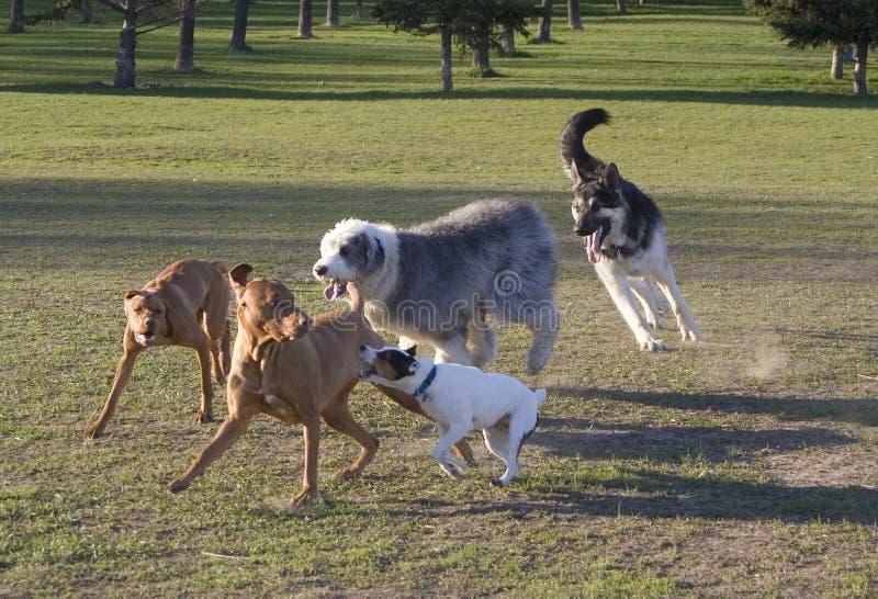 Dog romp stock image
