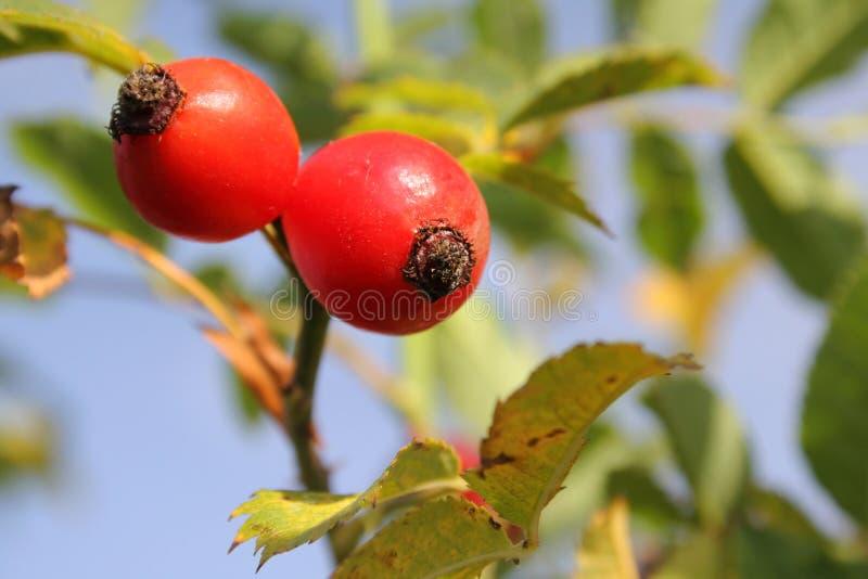 Download Dog-rose stock image. Image of eglantine, fruit, wild - 2280081