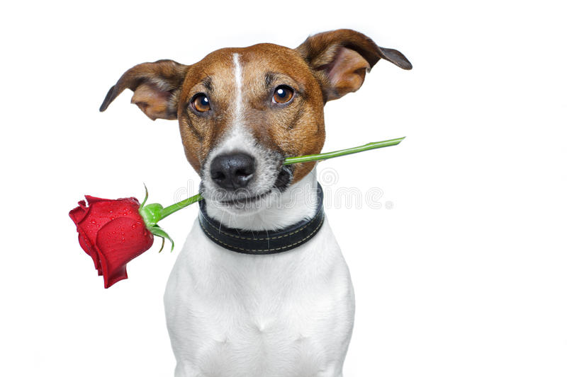 Dog with a rose. Dog holding a red rose in the mouth