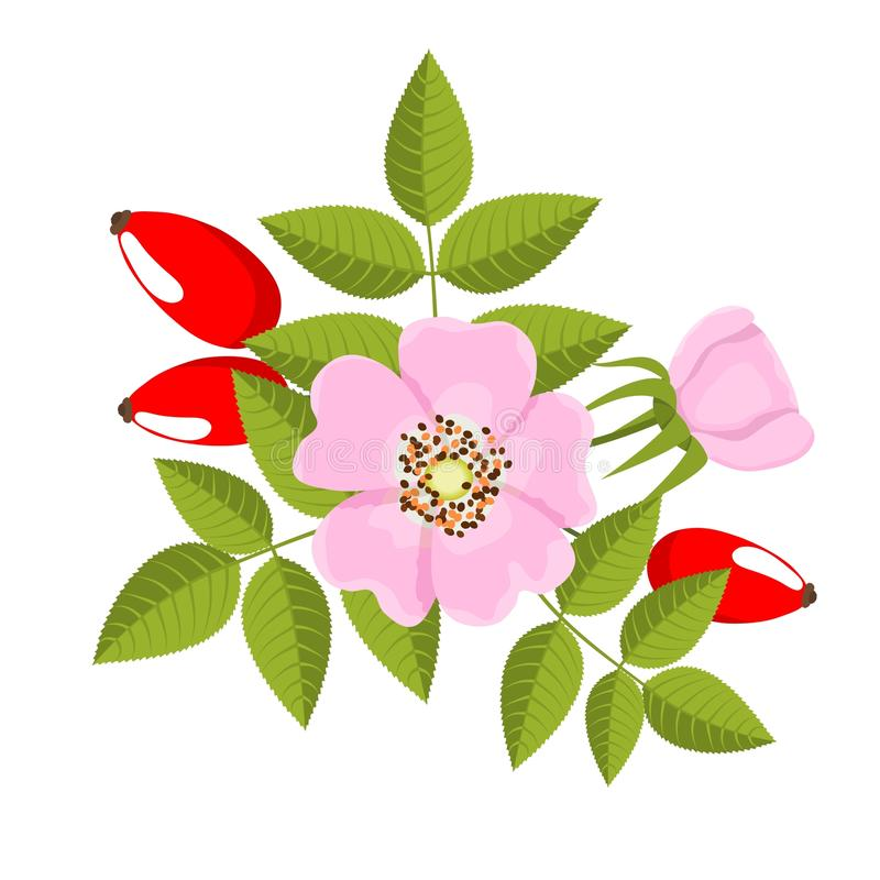 Dog rose stock illustration