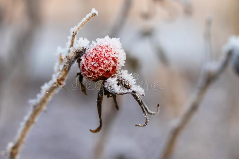 Dog rose berry covered with hoarfrost at winter sunny day.  stock photos