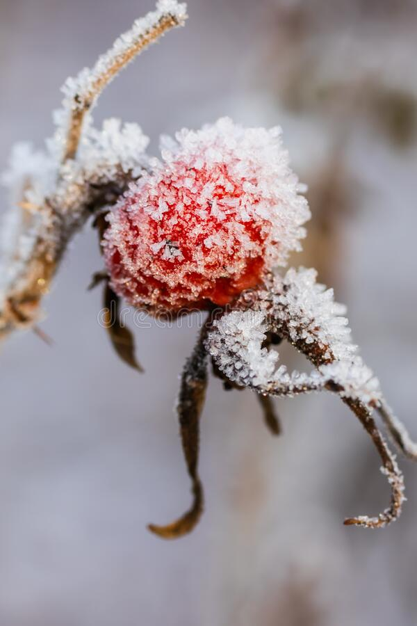 Dog rose berry covered with hoarfrost at winter sunny day.  stock images