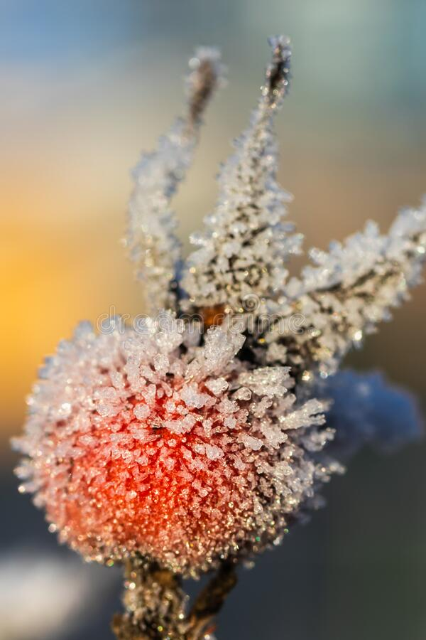 Dog rose berry covered with hoarfrost at winter sunny day.  stock photography