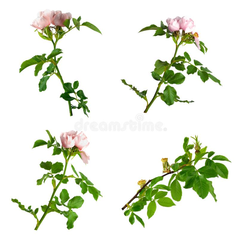 Dog-rose blooms. pink wild rose . Set rosehip flowers. Isolated stock photo