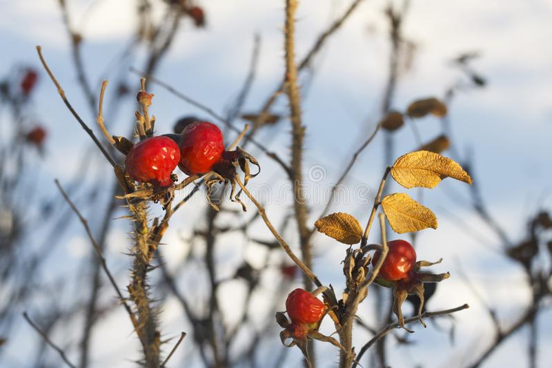 Dog Rose branches with bright fruits in the winter royalty free stock photo