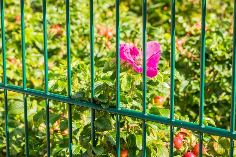 Dog-rose bush behind the fence in park at summer stock image