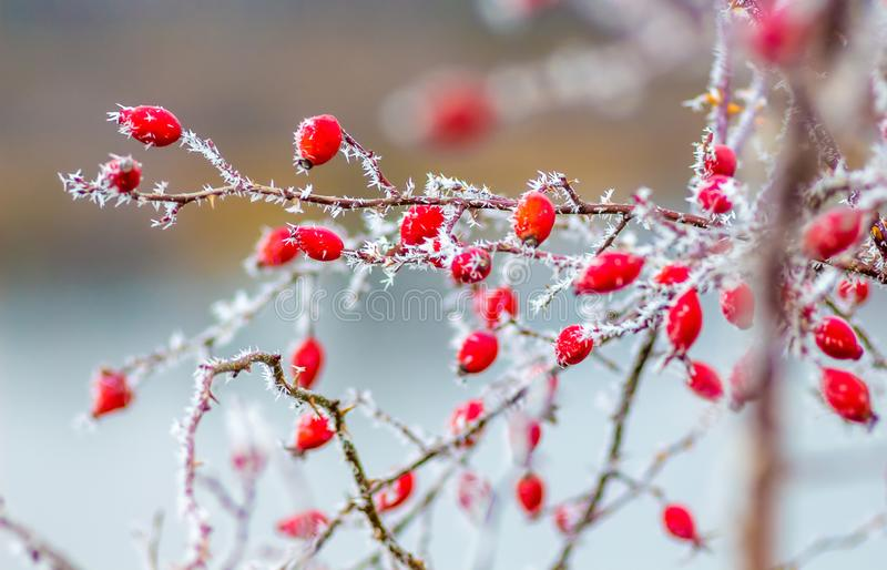Dog-rose bush with red berries covered with frost on the background of the river, blurry background_. Dog-rose bush with red berries covered with frost on the stock photo