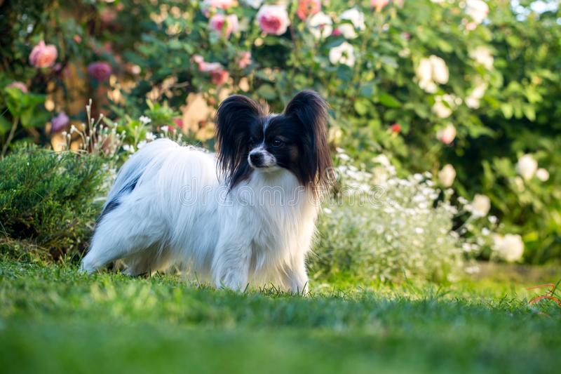 A dog in a rose garden. Home pet, dog of the breed papillon in the garden royalty free stock photo